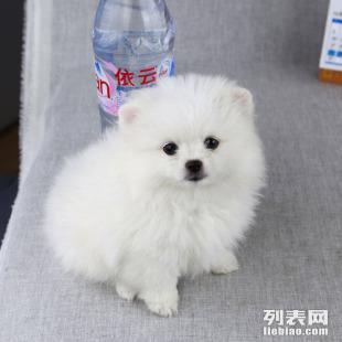 宁波哪里有博美犬出售 博美价格是好多 博美图片