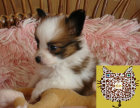 何处出售蝴蝶犬 纯种蝴蝶犬多少钱