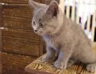 家养猫咪繁殖,2个月,已经打疫苗,无病无癣找新家