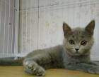 蓝猫 美短 银渐层,买猫送所有猫用品
