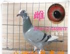出售信鴿,成績鴿,血統信鴿,公棚賽鴿