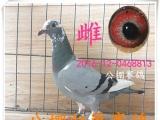 出售信鸽,成绩鸽,血统信鸽,公棚赛鸽