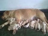 纯种拉布拉多幼犬 保证纯种健康 出售包品质可签协