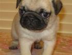 西安 巴哥幼犬 保证纯种健康 签订活体协议 包退换