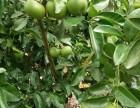 玉环文旦种植专业合作社