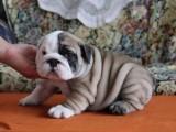 昆明纯种英国斗牛犬多少钱 在昆明什么地方能买到纯种英国斗牛犬