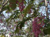 香花槐,五角枫
