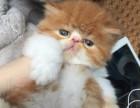 苏州出售纯种赛级蓝猫加菲胖嘟嘟英短 公母均有 保证健康