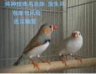 批发零售珍珠鸟