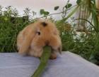 垂耳兔养殖基地 垂耳兔养殖基地价钱 垂耳兔养殖基地