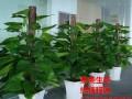 珠海花卉租摆 绿化养护 办公室绿植租赁