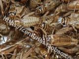 沈阳本地出售蟋蟀 30一箱 自取或发快递