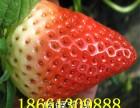 草莓苗批发 优质红颜草莓苗出售 好的章姬草莓苗价格