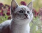加菲猫宠物猫 淘宝店铺搜:双飞猫