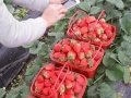 杭州周边游余杭仁和良渚建德草莓采摘园