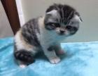 预售自家繁殖4只小女猫,3只三花1只虎斑