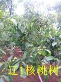 核桃苗-河北省石家庄哪里有卖核桃苗