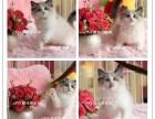 高品质血统纯种精品(布偶猫)多只幼猫待售