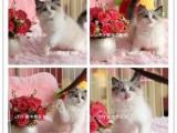 高品质血统纯种精品 布偶猫 多只幼猫待售