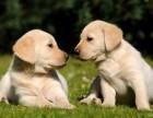 小拉布拉多犬怎么卖的 拉布拉多犬小狗多少钱