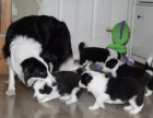 武汉高品质的边境牧羊犬出售了 疫苗做完 质量三包