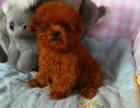 出售家养的枣红泰迪保证纯种健康的欢迎上门看狗