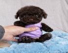 精品泰迪犬 常年售卖 可先检查确保健康在抱走