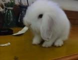 家养各种宠物兔,长年出售