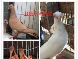 湖州元宝鸽观赏鸽肉鸽养殖