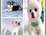 杭州寵物狗 健康純種阿拉斯加 多只挑選 疫苗驅蟲已做