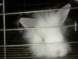 自家养的兔子,干净卫生,本地自提宠物兔,长不大