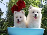上海卢湾萨摩耶幼犬多少钱能买