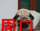 周口本地狗场巴哥犬销售,本地狗场几十个品种