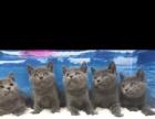 出售家養網紅貓