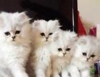 高品质金吉拉幼猫出售温柔可爱适合伴侣