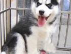 上海哪里有哈士奇犬卖 泰迪金毛哈士奇秋田博美阿拉多少钱价格