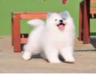 萨摩耶犬舍直销直播看狗 百度可查 可送上门