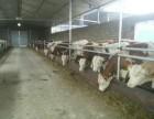 农信牧业兴牧养殖场批发价出售大量肉牛犊苗