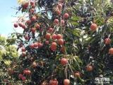 从化荔枝自家果园,亲自摘桂味,糯米糍30元任吃