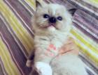 西安哪里卖布偶猫 布偶猫价格 布偶猫哪里有卖