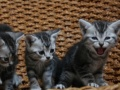 自家生的一窝美短宝宝虎斑猫