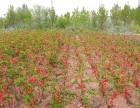 威海木瓜海棠 四月雪 木梨 丑橘各类花卉苗木批量出售