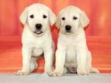 上海 純種拉布拉多幼犬 疫苗齊全出售中 可簽協議健康保障