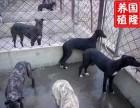 全活格力犬 惠比特犬 细犬 当场试活 货到付款