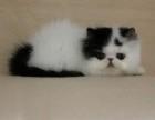 宠物猫波斯猫纯种黄白色波斯猫幼猫纯种宠物猫活体波