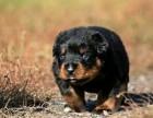 大头短嘴,罗威纳犬.忠诚的护卫犬 包健康纯种
