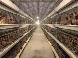 广西青年鸡厂家 四川青年鸡厂家 青年鸡价格