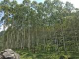 本人在广西靖西县有400亩桉树林木欲出售