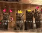 出售级品赛级蓝猫并有低价宠物级蓝猫