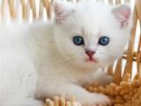 英短银渐层金渐层银点活体幼猫宠物猫